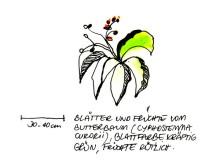 Früchte des Butterbaums, 8.1.05