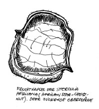 Fruchtkapsel der Sterculia africana