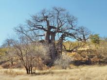 Baobab Variante, 19.07.
