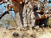 Baobab Details, 19.07.
