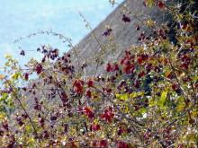 Blutfruchtbaum bei der Opuwo Lodge, 19.07.