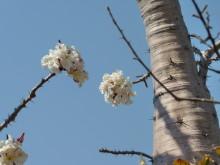 Flaschenbaumblüten