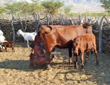 Himba Frau beim Melken, 21.07.