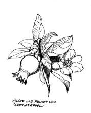 Granatapfel Blüte und Frucht, 3.6.