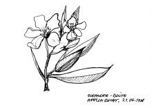 Oleander Blüte in der Bucht bei Apella, 21.6.1998