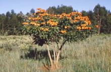 Blühender Tulpenbaum bei der Makumbi Schlucht, 29.12.1987