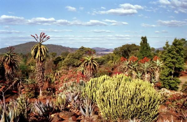 Euphorbien und blühende Aloen im Botanischen Garten von Ewanrigg, 1985