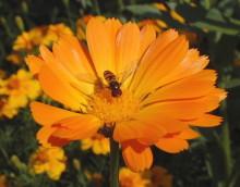 Blütenbesuch