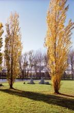 Goldene Pappeln