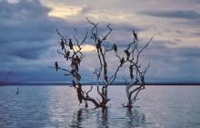 Kormoran Schlafbaum im Karibasee