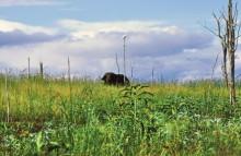 Ein Büffel lässt grüßen