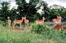 Impalas auf Fothergill, 3.2.85