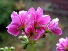 Regentropfen auf den Blüten