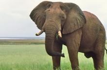 Ein neugieriger alter Elefanten Bulle