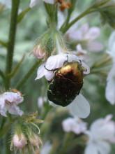Goldkäfer am Blütennektar