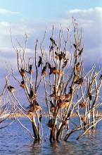 Nistbaum der Kormorane