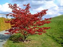 Herbstlicher Judasbaum