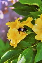Cassia Blüte mit Besucher
