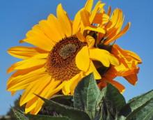 Sonnenblumenschönheit