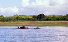 Ein schwimmender Elefant
