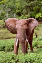 Angriffslustiger Elefantenbulle