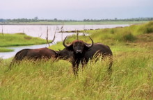 Bumi Hills Büffel