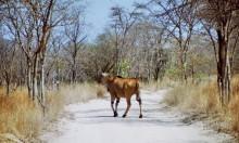 Ein trächtige Eland Antilope