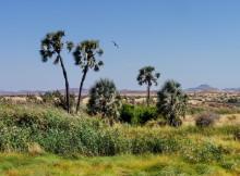 Makalani Palmen bei Palmwag,2011