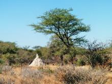 Weiße Termitenhügel, 2011