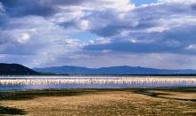 Flamingos im Nakuru See, 1987