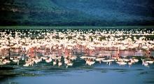 Flamingos versammeln sich im Nakuru See zur Balz, 1987