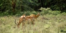 Springböcke im Nakuru Park, 1987
