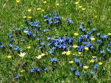 Frühlingsblüte auf der Troier Alm, 27.06.
