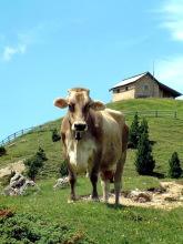 Eine von Gottfrieds Kühen, 27.06.