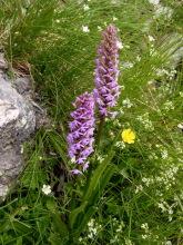 Orchideen am Wegesrand, 6.7.