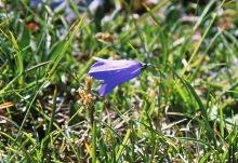 Einsame Glockenblume, 1999