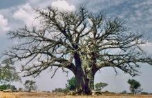 Baobab bei Bolgatanga